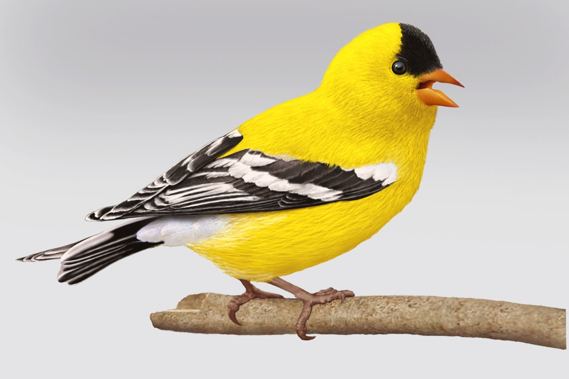 CPC.goldfinch copy